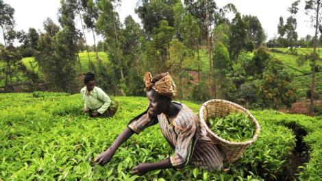 tea_kenya_farm_creditciat_flickr